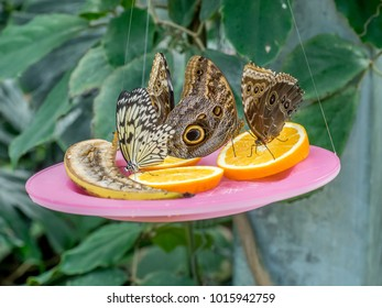 Butterflies eating fruit from a suspended plate