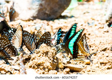 The butterflies are eating minerals from the soil on the ground.