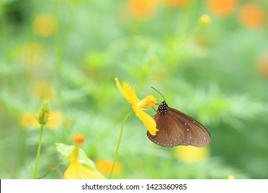 Butterflies are eating nectar from yellow flowers.  In the morning  On a green background.soft and select focus.