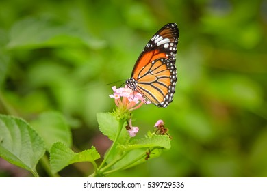 Butterflies feed on nectar from flowers are beautiful.