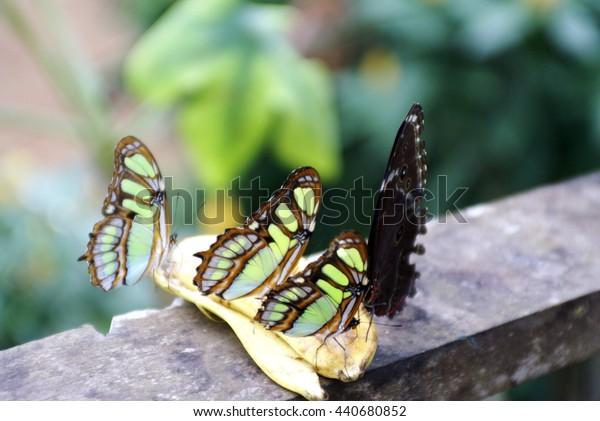 Butterflies feeding on a banana in a butterfly garden in Tena, Ecuador
