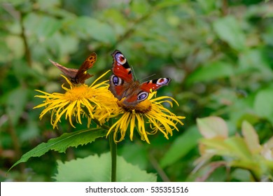 Butterflies feeding over flower. Macro closeup with red butterflies on a yellow flower in the garden.