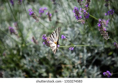Butterflies in a field of Lavender