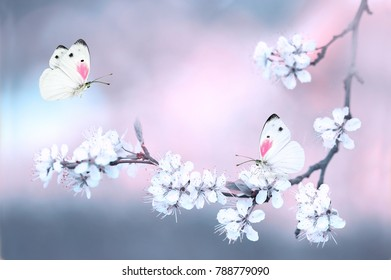 Butterflies fluttering over a branch of blossoming cherry in spring close-up macro on nature on a pink and gray blue background.