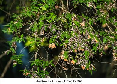 Butterflies (Jersey tiger) rest on tree leaves in Butterfly valley (Rhodes, Greece)