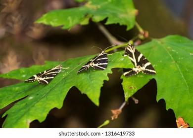 Butterflies (Jersey tiger) rest on leaves of sweetgum tree in Butterfly valley (Rhodes, Greece)