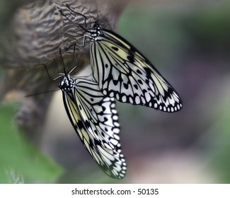 Butterflies Mating - Paper Kite - Asia