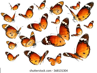 Butterflies migrating flight. Butterflies of Danaus chrysippus (Plain tiger or African monarch) isolated on a white background