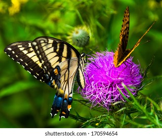 Butterflies on a thistle flower in Shenandoah National Park, Virginia.