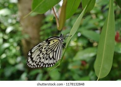 Butterflies smoking nectar