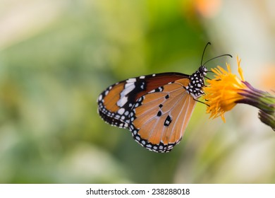 Butterflies and yellow flowers
