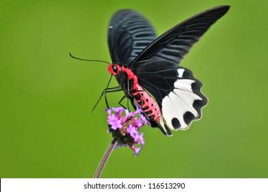Sưu tập Bộ cánh vẩy 2 - Page 60 Butterfly-260nw-116513290