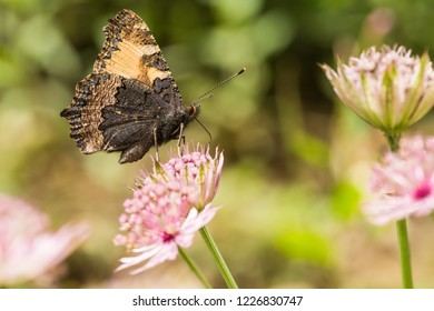 A butterfly (aglais urticae) is sitting on a pink flower (astrantia major)