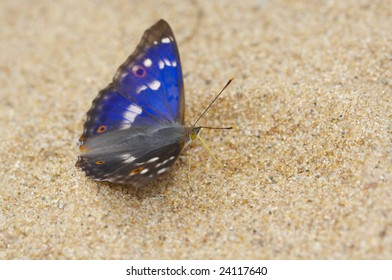 Butterfly Apatura ilia on sand