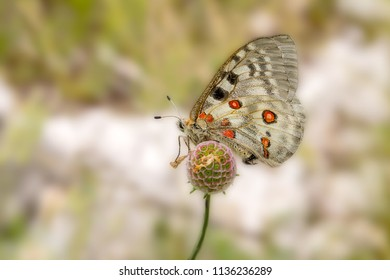Butterfly Apollo or Mountain Apollo (Parnassius apollo) on the flower