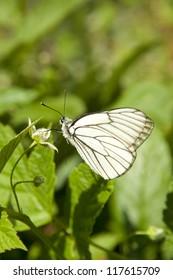 Butterfly Aporia Crataegi on raspberry