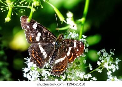 Butterfly Araschnia levana on blossom