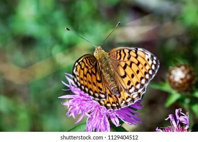 butterfly Argynnis aglaja