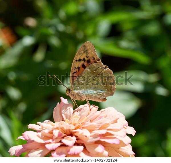 Bộ sưu tập cánh vẩy 5 Butterfly-argynnis-pandora-sits-on-600w-1492732124