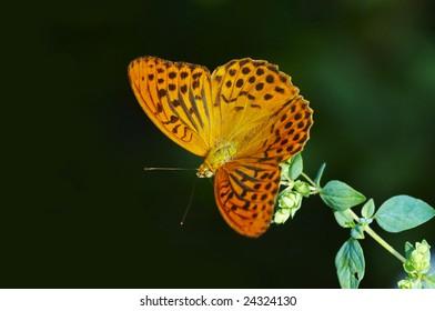 Butterfly Argynnis paphia on flower