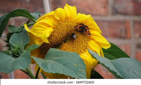 A Butterfly and a Bee on a Sunflower