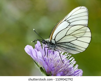 Butterfly - black-veined white (Aporia crataegi) sucking nectar on a lila flower