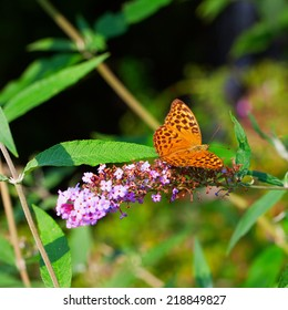 Butterfly Boloria Bellona leaning over Butterfly Bush