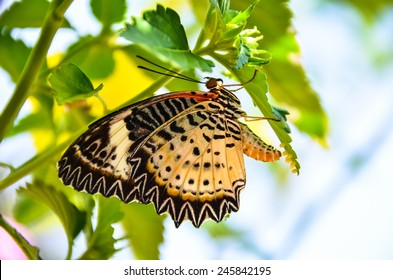 Butterfly Breeding, Butterfly laying eggs on green leaf