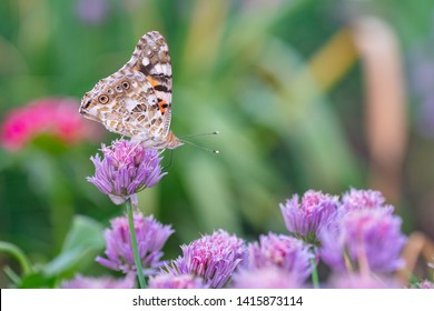 Butterfly burdock on the flower of a decorative onion. Vanessa cardui collects nectar from the flower of a decorative onion.