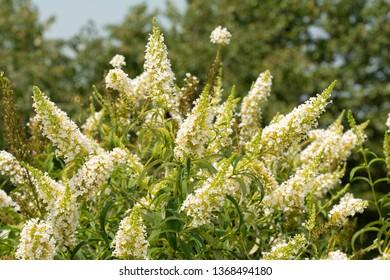 Butterfly bush, Buddleia davidii, full of white flower clusters in summer garden