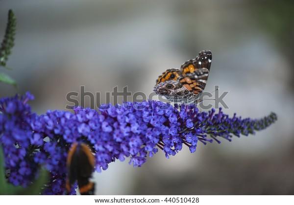 Butterfly bush flower with butterfly