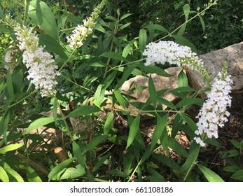 Butterfly Bush in White