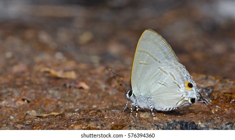 Butterfly, Butterflies feed on the rocks, Common Tit ( Hypolycaena erylus )