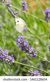 The butterfly cabbage, flies among the fragrant flowers of lavender