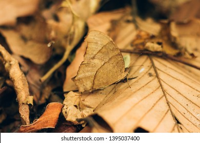 butterfly camoflage on dry leaf