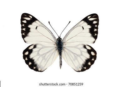 Butterfly, Caper White, Caper Gull, Pale form, Belenois java, male, wingspan 55 mm