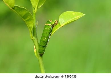 Butterfly caterpillar eating kaffir lime leaves.