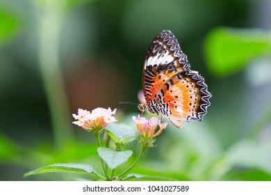 Butterfly : Cethosia cyane euanthes ( Leopard Lacewing )
