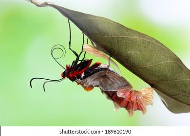 Butterfly changing from chrysalis - Byasa polyeuctes.