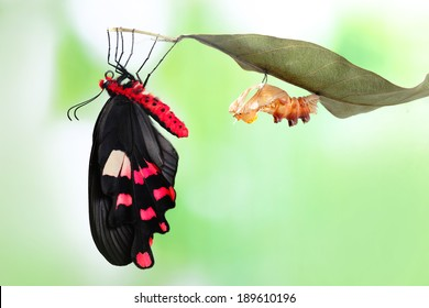 Butterfly changing from chrysalis - Byasa polyeuctes.