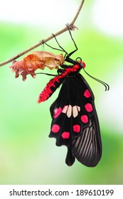 Butterfly changing from chrysalis -  red, Pachliopta.