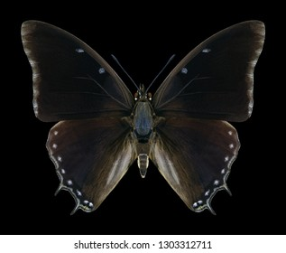 Butterfly Charaxes virilis on a black background