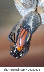 Butterfly Chrysalis, Monarch, Danaus plexippus, Emergent Sequence Image Number 5 of 6