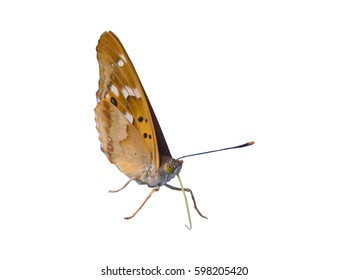 Butterfly Closed Wings Isolated. Orange, brown, black butterfly with closed wings. White background.