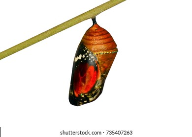 Butterfly cocoon  - Stock Image