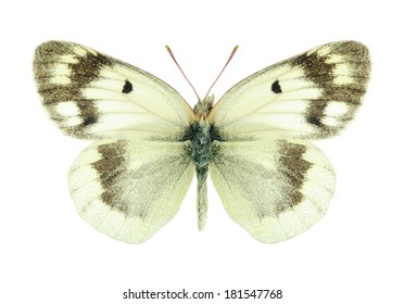 Butterfly Colias shahfuladi (male) on a white background