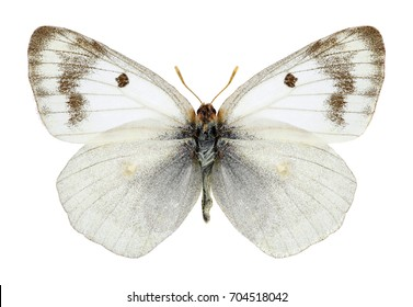 Butterfly Colias siversi on a white background