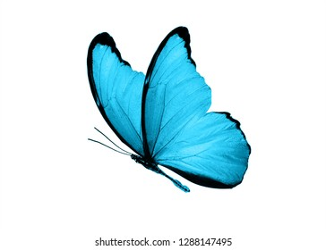 "butterfly color ""Bondi Blue"". isolated on white background"