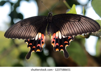 Butterfly. Common Mormon (Papilio polytes) butterfly with inedible red-bodied swallowtails. Selective focus, blurred nature background. (Female Mormon butterfly).  Odisha, India