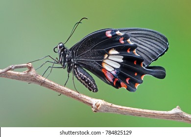 Butterfly : Common Mormon (Papilio polytes) is a common species of Swallotail butterfly widely distributed across Asia. Selective focus, blurred nature background. (Female Mormon butterfly)
